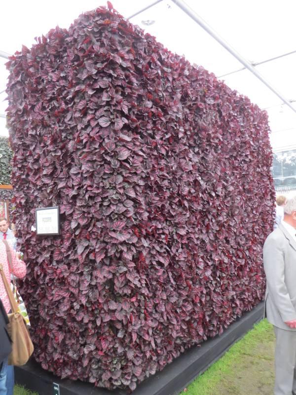 Begonia Wall